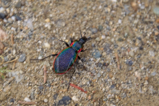 Rainbow Beetle