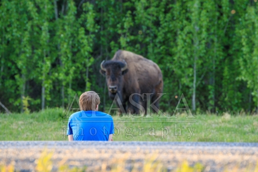 Roadside Liard Bison Viewing