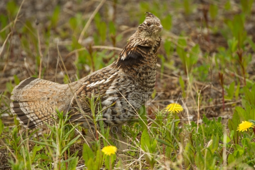 Ruffed Grouse Display