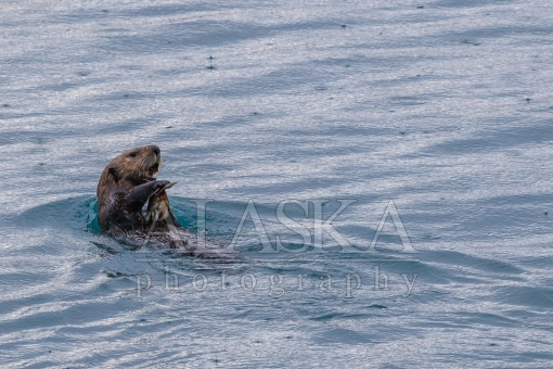 Sea Otters Crab Lunch