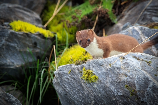 Stoat of the Rock