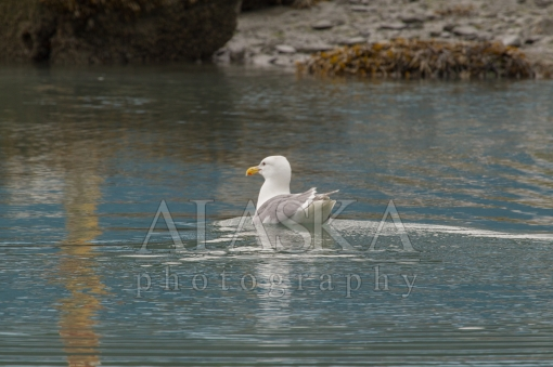 Swimming Gull