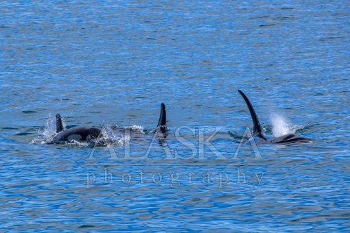 Three Orcas Swim