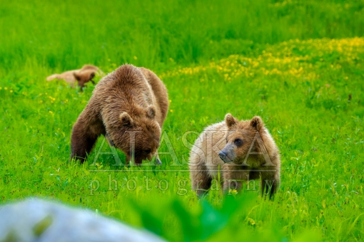 Valdez Brown Bear Family Lunch