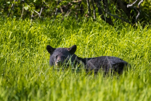 Valdezian Black Bear in Tall Grass