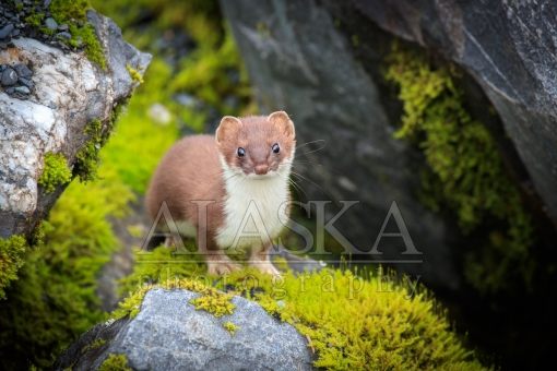 Weasel in the Mossy Rocks