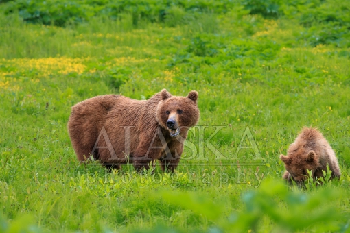 Wet Foraging Brown Bear and Cub