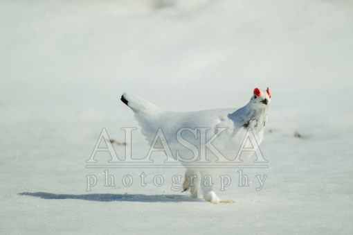 Winter Ptarmigan Strut